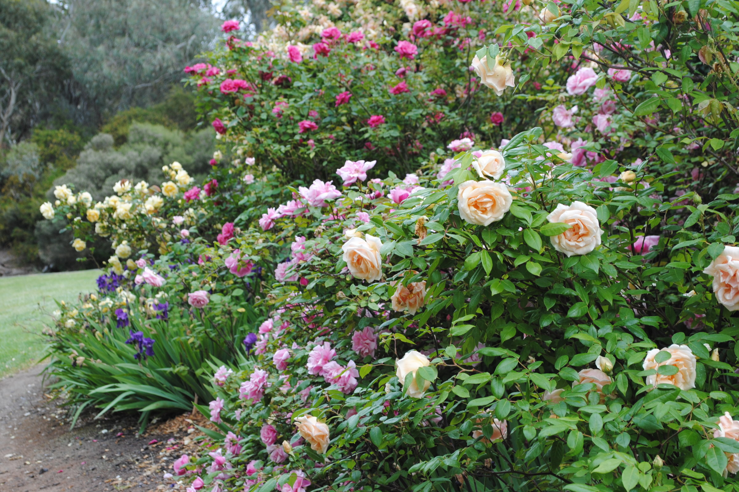 Heritage Roses 2