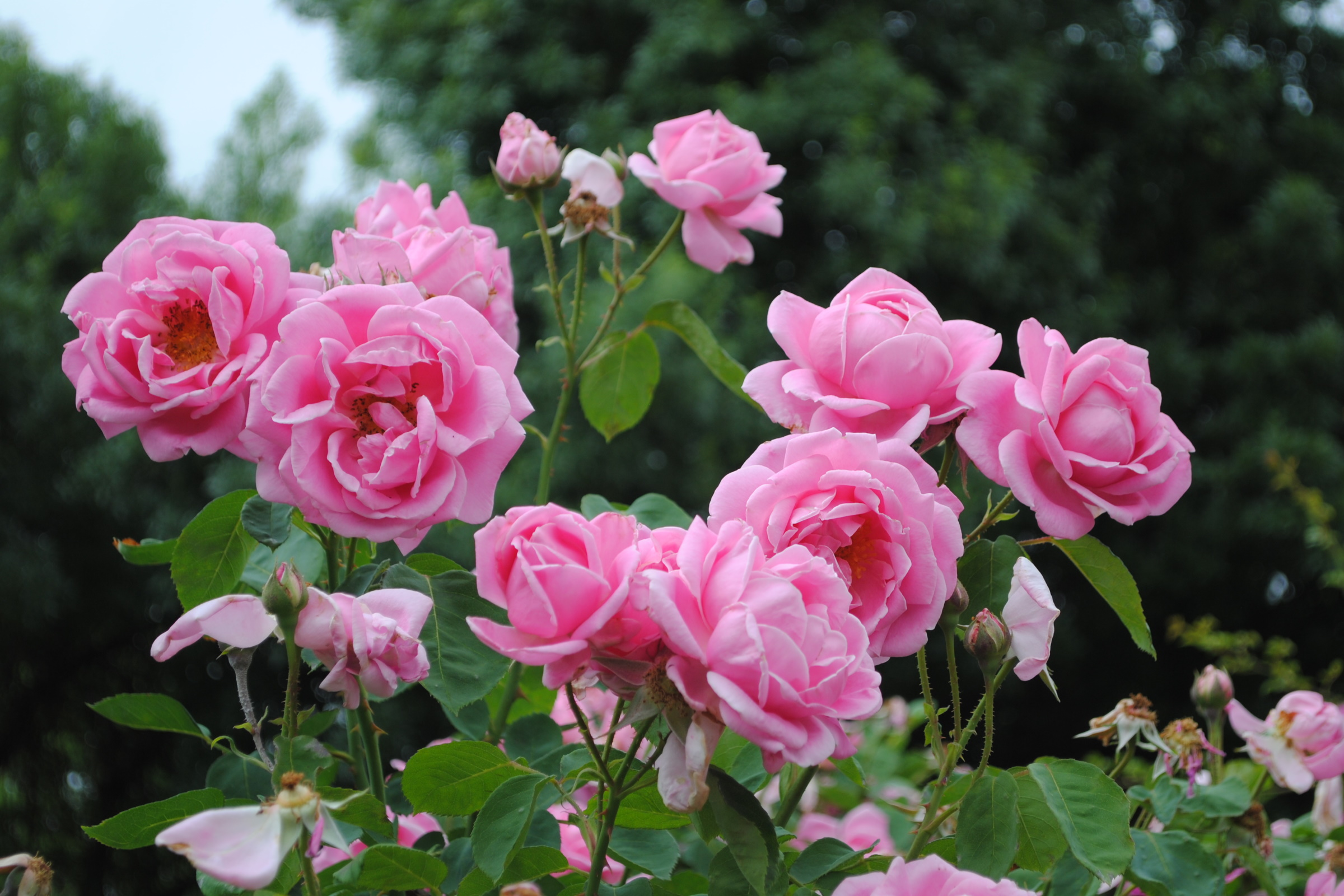 Heritage Roses 3