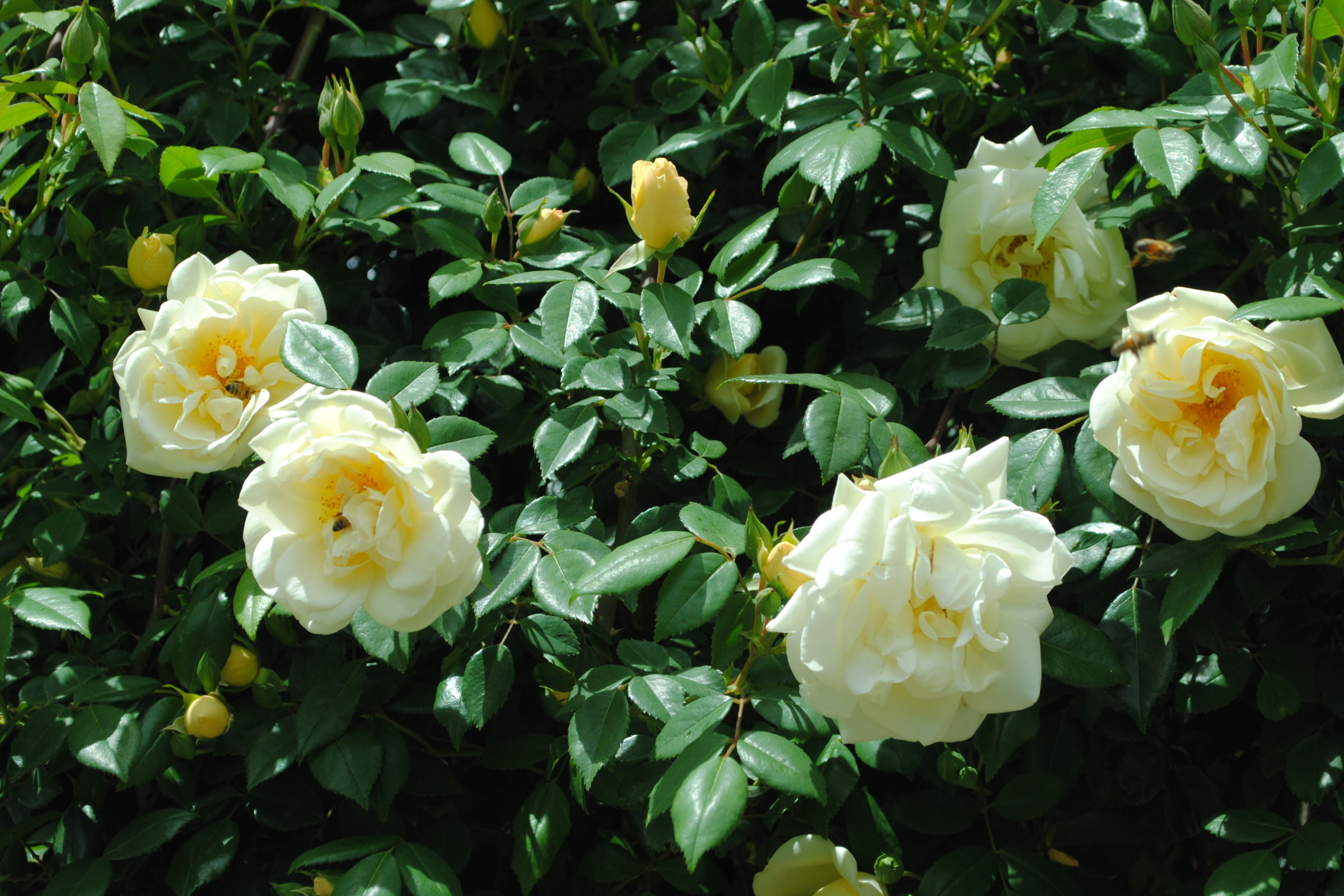 Heritage Roses 5
