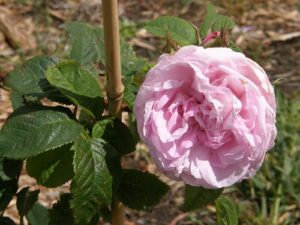 Mme Louis Leveque, some repeat flowering