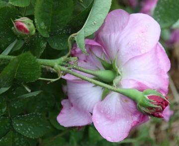 Rose Pruning 1060