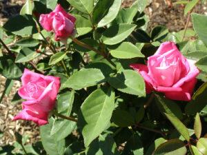 Auguste Comte / Nantawarra Pink Tea ROR, sold as Mme Hoste, probably Auguste Comte