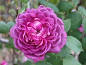 Reine des Violettes, HP