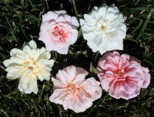 Sweetheart roses / Ravensworth, Mlle Cecile Brunner. White Cecile Brunner, Mme Jules Thibaud, Perle d'Or