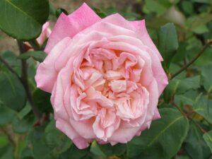 Tea BL Amelia Anderson ROR syn William R Smith