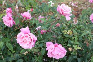 Rose sold as Le Vesuve