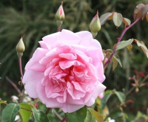 HT-Tea rose hedge Cottage Pink ROR syn Mrs Val Nash's ROR