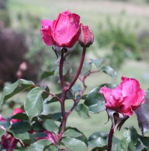 Rose sold as Princesse de Sagan, probably Professeur Ganiviat