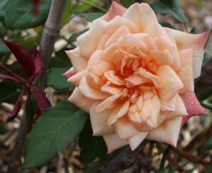 """NZ Lady Roberts"" at its most orange"