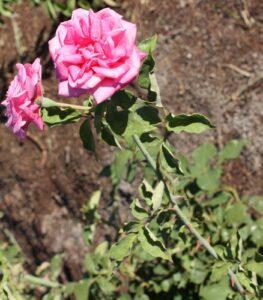 Sylvia Hannah's dark pink tea ROR syn Blackbutt Tea ROR