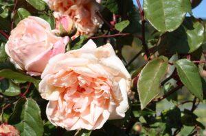 Rose sold as Comtesse Riza du Parc