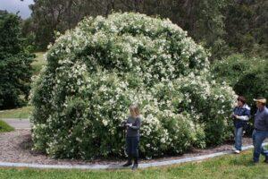 Mt Lofty Botanic Garden, SA: R brunonii La Mortola