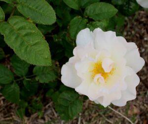 65 Roses, Thomson c 1980