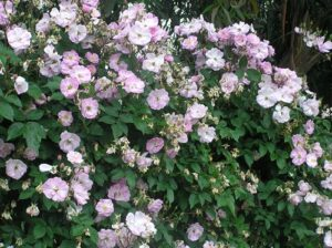 Narrow Water, noisette, low climber