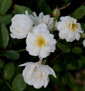 Wirruna White Fairy, Aus