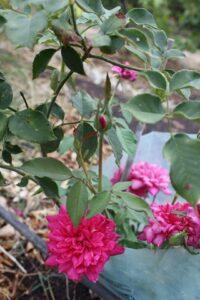 Blackbutt Tea ROR syn Sylvia Hannah's Dark Pink Tea ROR