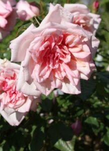 Alexandra, pink Tea ROR syn Isabel Smith ROR sold as Mme de Tartas