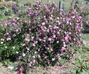 Glory of Edzell, spinosissima
