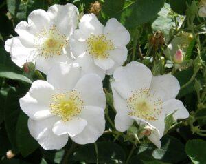 R x Dupontii, shrub-climber, spring