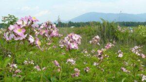 Pre-conference tour: Rosa multiflora adenochaeta