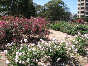 Rumsey memorial rose garden