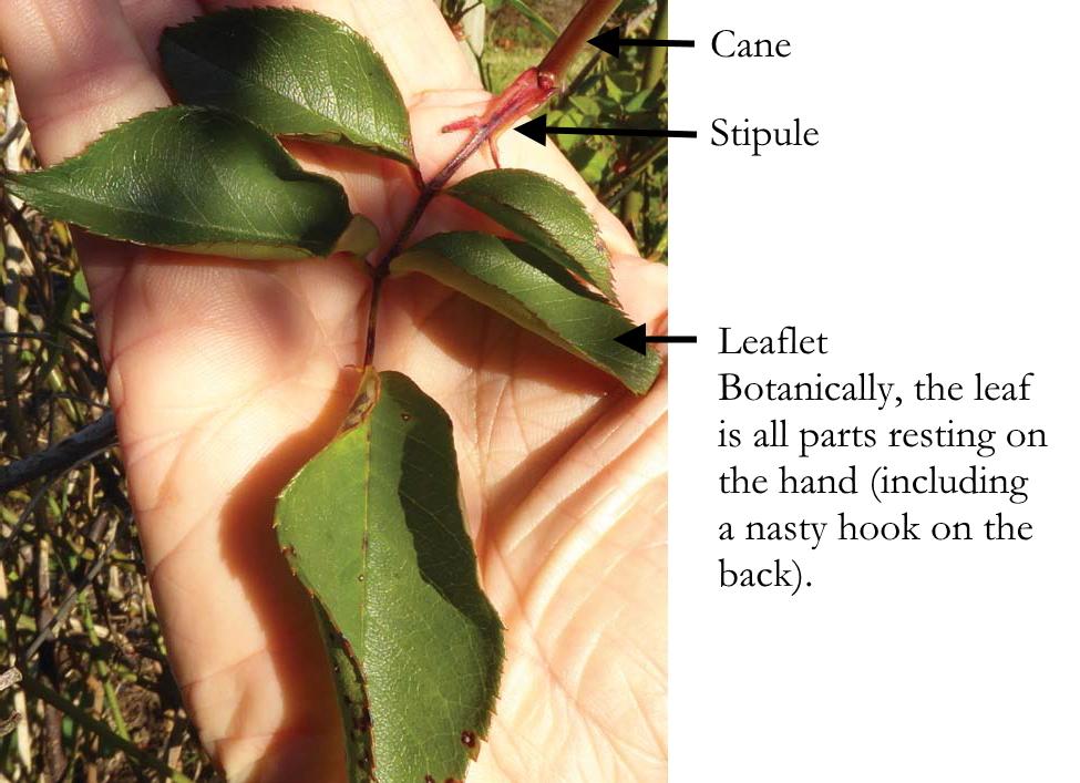 Cane, Stipule and Leaflet