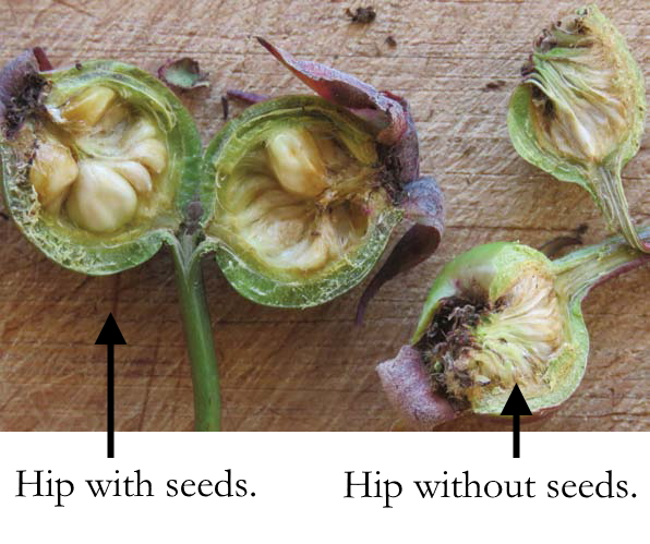 Hip with and without seeds